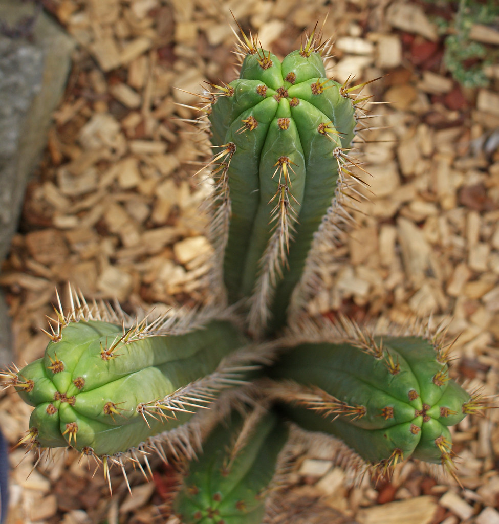 Something Different - Trichocereus :) 4959788090_3331ac5501_b
