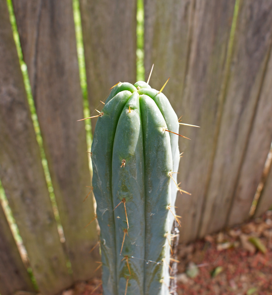 Something Different - Trichocereus :) 4959194179_4d6fd0dc03_b