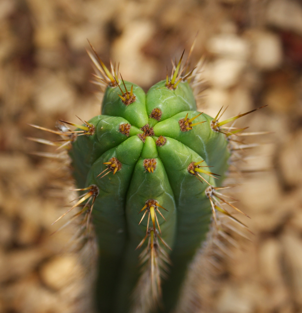 Something Different - Trichocereus :) 4959785516_5c75ffe08a_b