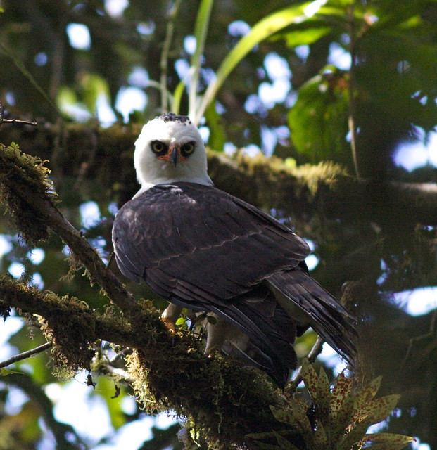 Falconiformes. Família  Acciptridae - Subfamília Buteonidade- Gaviões de penacho. genêro SPIZAETUS 4467787808_759bb70691_z