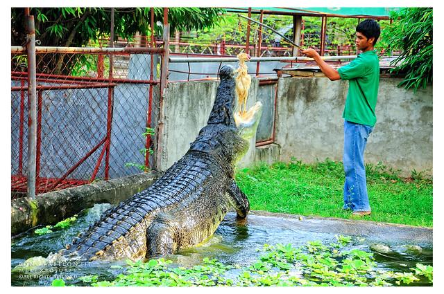 Tigre de Bengala VS Crocodilo Marinho - Águas Rasas 5148444662_bddc2c5fdd_z