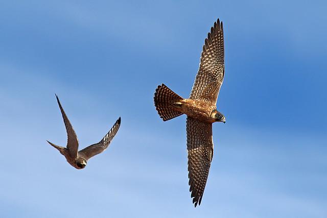 Falconiformes. sub Falconidae - sub fam Falconinae - gênero Falco - Página 2 4694217109_9cc045f51d_z