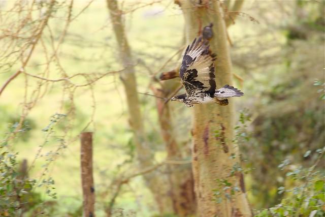 Falconiformes. Família  Acciptridae - Subfamília Buteonidade- Gaviões de penacho. genêro SPIZAETUS 4950354283_ba184ef34f_z