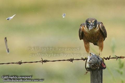 Falconiformes. sub Falconidae - sub fam Falconinae - gênero Falco - Página 2 4738584895_4acf20cbe8