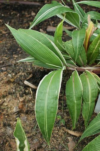 Setaria palmifolia - sétaire à feuilles de palmier 4933504220_9d47ecec0e