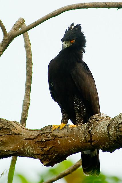 Falconiformes. Família  Acciptridae - Subfamília Buteonidade- Gaviões de penacho. genêro SPIZAETUS 4885938953_fcbef02a07_z