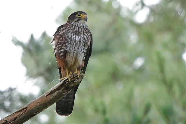 Falconiformes. sub Falconidae - sub fam Falconinae - gênero Falco - Página 2 5194412480_e7c101f722_z