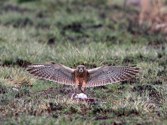 Falconiformes. sub Falconidae - sub fam Falconinae - gênero Falco - Página 2 4988041076_5f56ec3e29_z