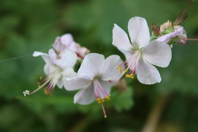Geranium - boutons de fleurs [devinette] 5372183247_d0d9fb9178_z