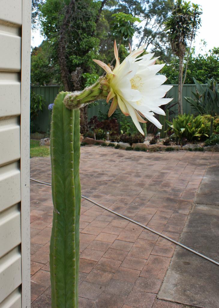 Trichocereus in flower today 5260495326_63756f53c7_b