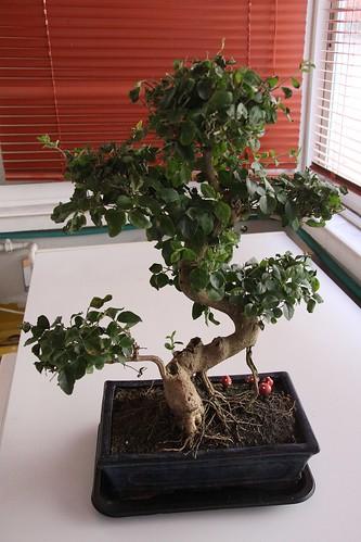 bonsai00