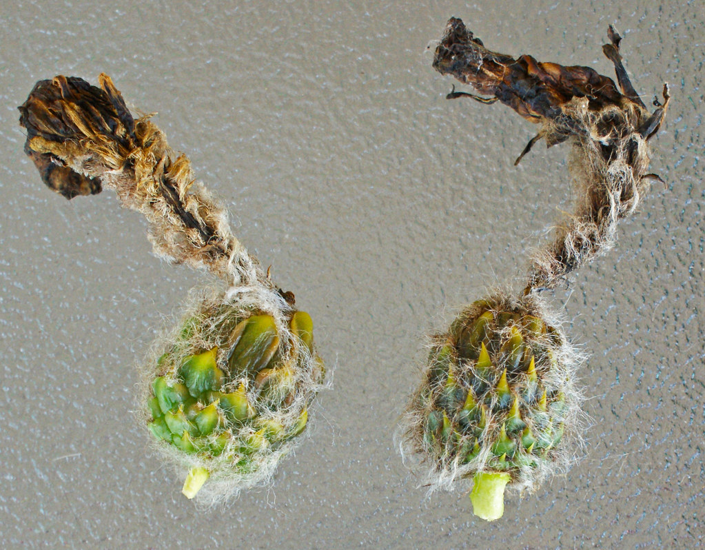 Trichocereus in flower today 5391934808_c8b2b34462_b