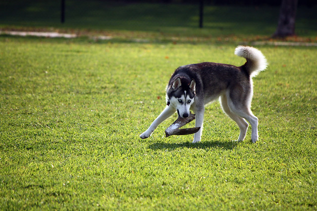 Florida Huskies and the NEW addition 9/5/13 - Page 2 5578399208_9193e5932c_z