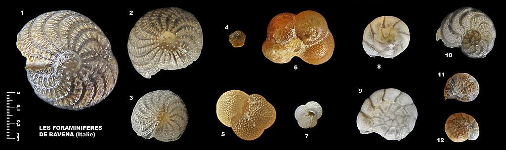 Foraminifères de Ravena 5471978946_171ae8c53e_b