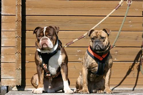 les bulldogs débarquent! 5523067250_fb70e5038f