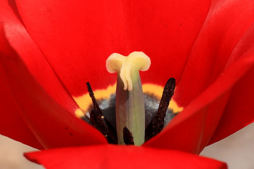 Who likes tulips?? 5601186570_67aa45d105