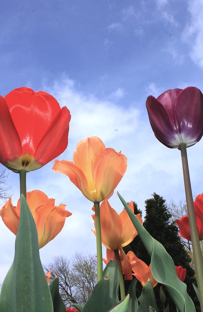 Who likes tulips?? 5600601533_525b67f3af_z