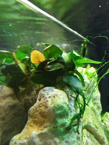 Tanganyika spécifique Neolamprologus multifasciatus 5860899866_1e3308a50b