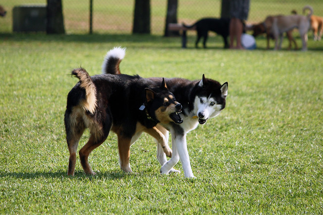 Florida Huskies and the NEW addition 9/5/13 - Page 2 5578393550_96011e9570_z