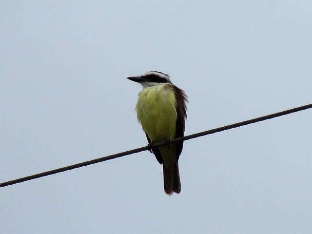 Pássaros não tomam choque nos fios elétricos, por que? 5505271900_0ecea53e49_z