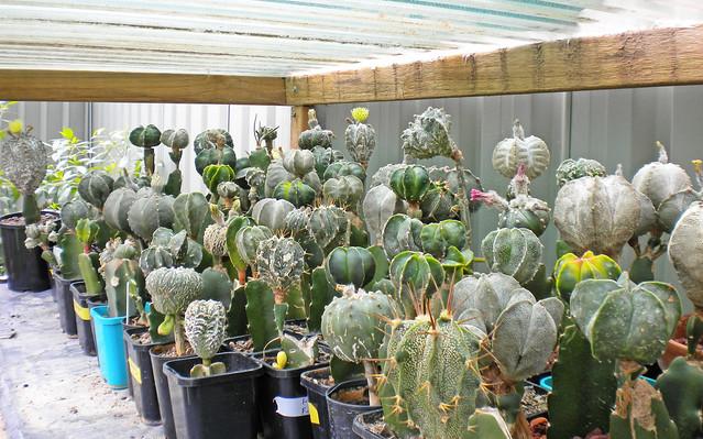 Astrophytum Cultivar Hybrid Seed Packs For Sale 5379656472_3069fe983c_z
