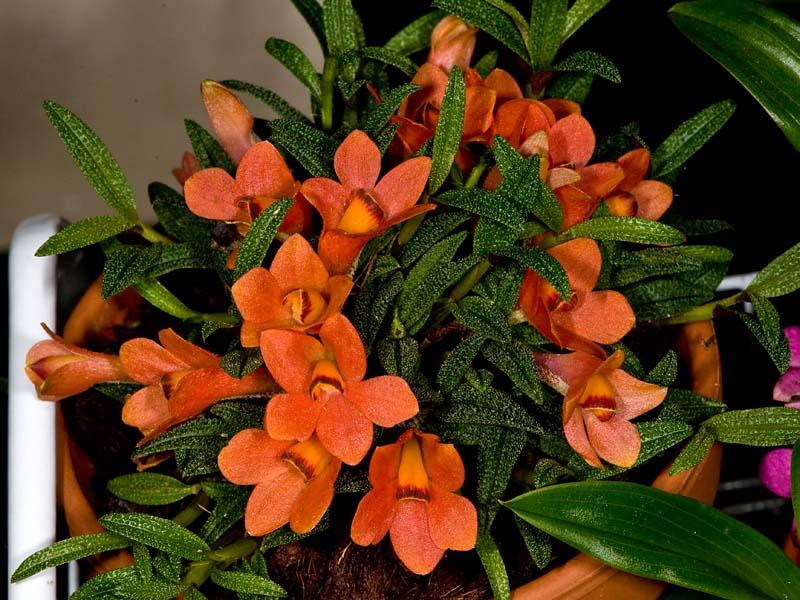 Dendrobium  cuthbertsonii 5252045222_02d99c528a_o