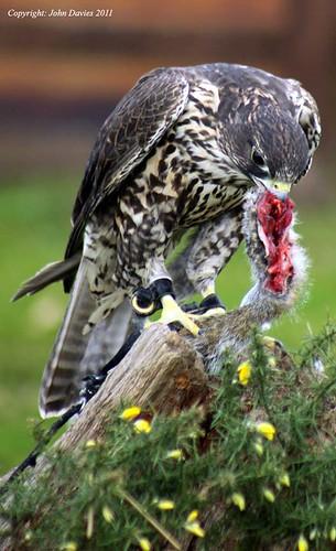 Falconiformes. sub Falconidae - sub fam Falconinae - gênero Falco 5549061229_af02df95dc