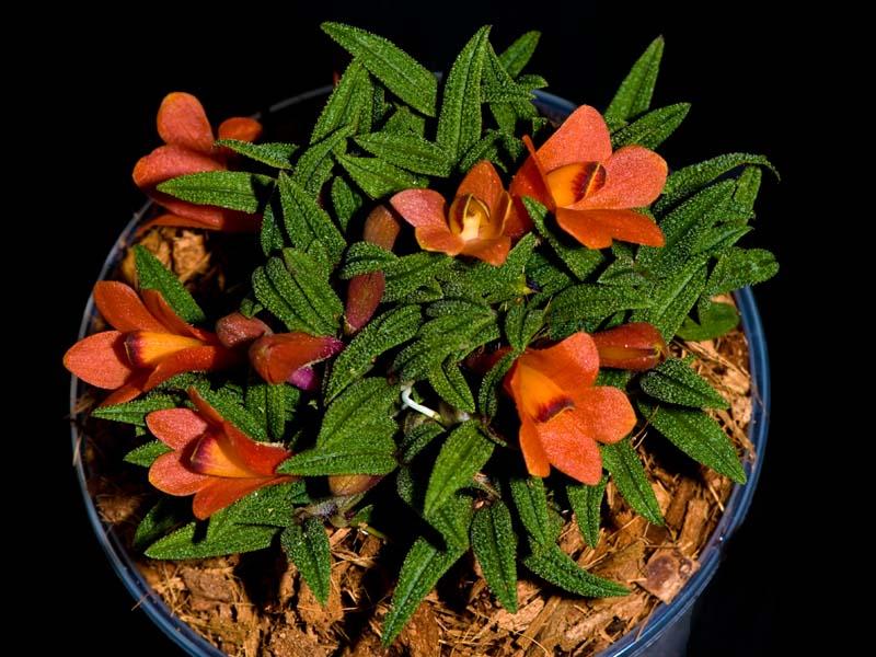 Dendrobium  cuthbertsonii 5262828857_e30dbdae1c_o