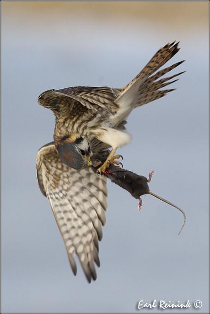 Falconiformes. sub Falconidae - sub fam Falconinae - gênero Falco - Página 3 5321883360_40b0fff026_z