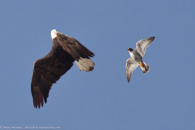 Falconiformes. sub Falconidae - sub fam Falconinae - gênero Falco - Página 2 5500997670_184c672b59_z