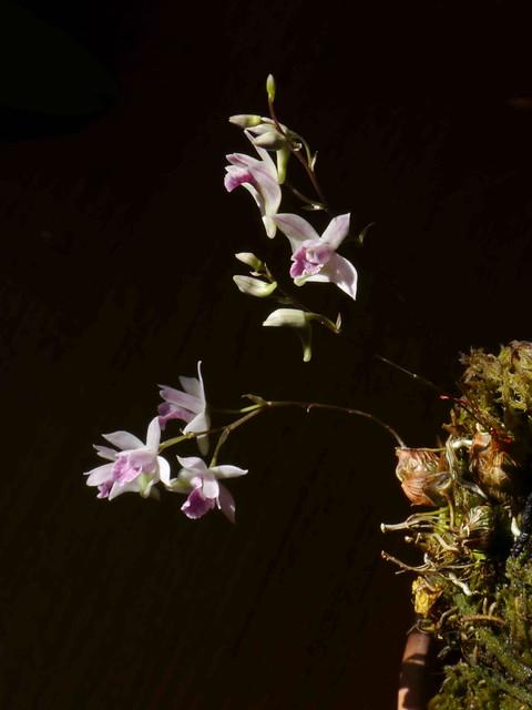 Dendrobium microbulbon 5690388553_ffd29a0ccf_z