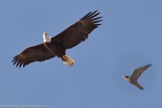 Falconiformes. sub Falconidae - sub fam Falconinae - gênero Falco - Página 2 5500402761_9dd9a47433_z