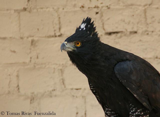 Falconiformes. Família  Acciptridae - Subfamília Buteonidade- Gaviões de penacho. genêro SPIZAETUS 7114113795_7397d36b2e_z