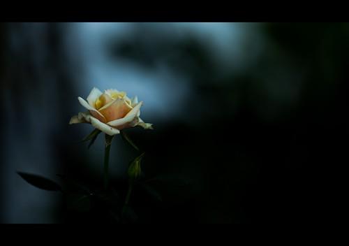 Rosa 9862763515_b3d65f796f