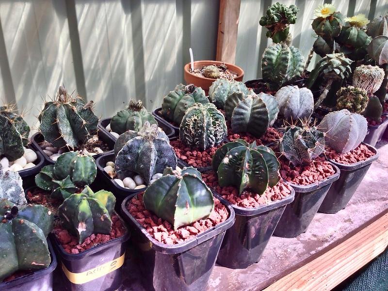 Astrophytum Cultivar Hybrid Seed Packs For Sale 10201105736_5dfa7f7418_c
