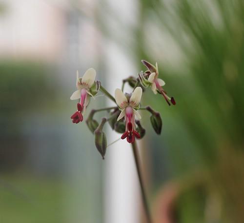 Pelargonium NOID