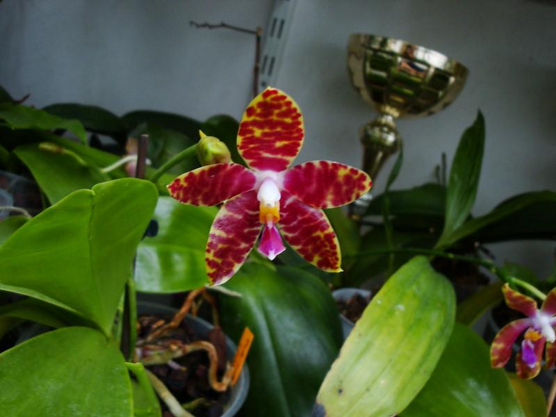 Phalaenopsis Alambra (amboinensis var. flavida x pulchra) 10016320254_18d14085ee_c