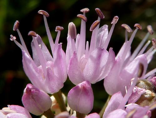 Allium lusitanicum - ail des collines, ail trompeur 10165825553_f4216b270e