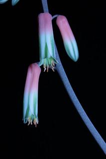 Aloe fragilis 11034945504_c5b27a32bc_n