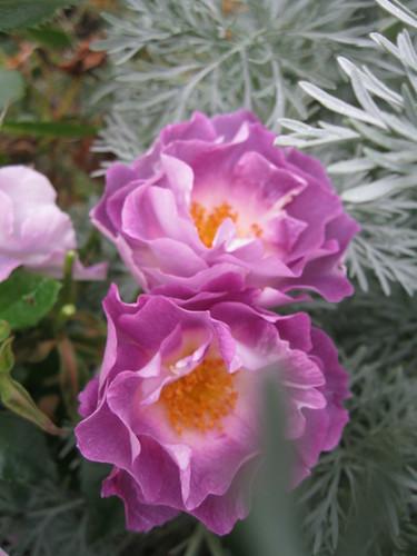 Rosa 'Pacific Dream'