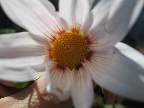 Dahlia campanulata 10594208525_4e911cb774