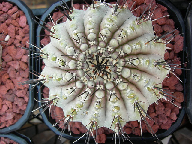 Copiapoa in cultivation 11739694374_1df386ecfe_z