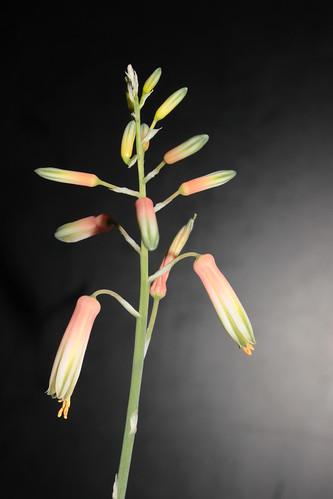 Aloe 'Lizard Lips' 11666652726_ccd22a5fdf