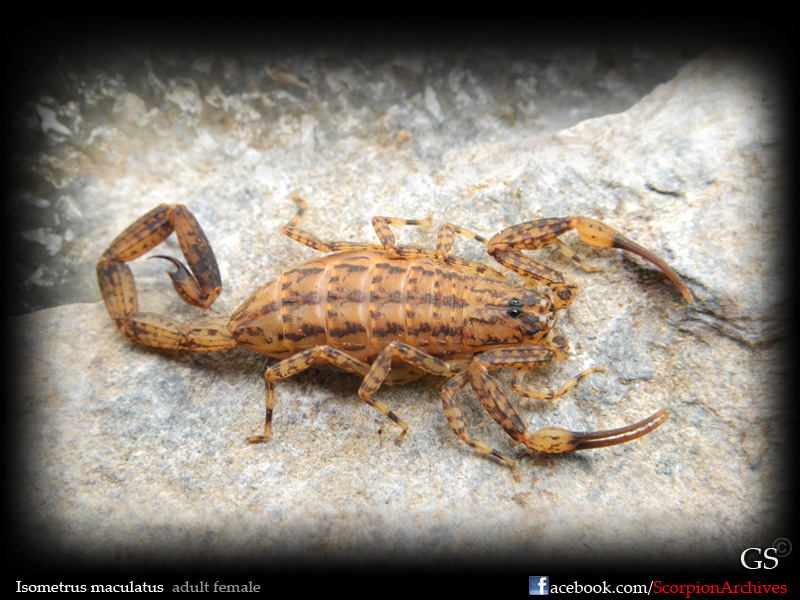 Isometrus maculatus 12071096426_bf094e6c9e_o
