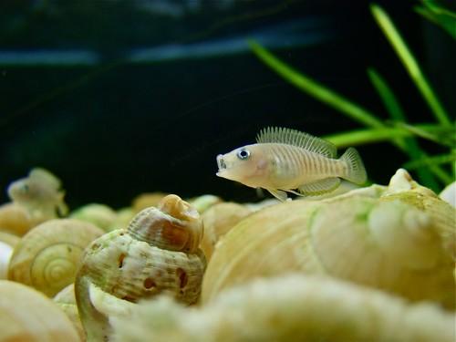 Tanganyika spécifique Neolamprologus multifasciatus 5945492619_28e7462757