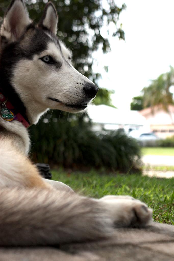 Florida Huskies and the NEW addition 9/5/13 - Page 3 5965445860_27edbfda19_b
