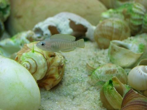 Tanganyika spécifique Neolamprologus multifasciatus 5950020160_f6f0c361b9