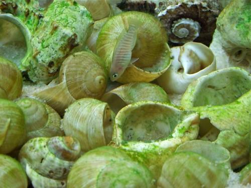 Tanganyika spécifique Neolamprologus multifasciatus - Page 2 6008748363_dcccbee8a5