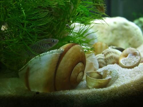 Tanganyika spécifique Neolamprologus multifasciatus 5945492889_af1318ee3d