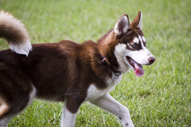 Florida Huskies and the NEW addition 9/5/13 - Page 4 6213239296_4417a8de46_z